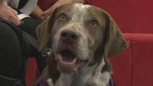 Adopt a Pet: Victor the Basset Hound – German Cross (03:42)