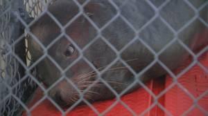 Vancouver Aquarium treats sea lion shot by crossbow