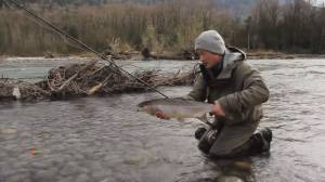 New warning about critical decline in steelhead stocks
