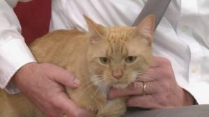 Adopt a Pet: Roman the Feline