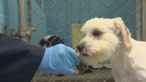 SPCA caring for 119 dogs surrendered in Fort Nelson (02:04)