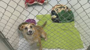 Why domestic abuse is behind an increased number of animals needing emergency boarding at SPCA shelters in the Okanagan and rest of B.C.