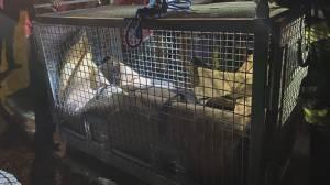 Sad ending to marathon sea lion rescue off Nanaimo (02:01)