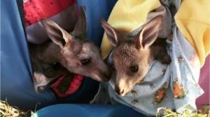 Australian bushfires spark knitting frenzy
