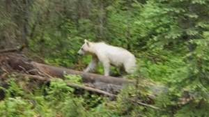 Rare white grizzly bear spotted in B.C.'s Yoho National Park
