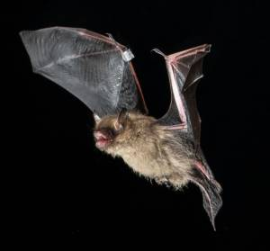 The bat return: Ontario species become immune to fungal infection