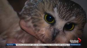 Albertans trying to learn more about the northern saw-whet owl