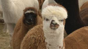 Breeders hoping new mill makes alpacas more popular