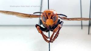 Why arrival of 'Murder hornet' in North America could cause danger for bees, concerns for humans