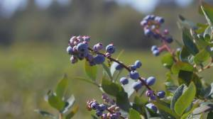 B.C. blueberries seeing success on the world stage