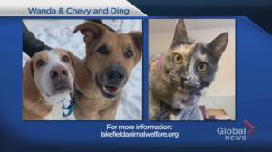 Shelter Pet Project Jan. 10 – Wanda, Chevy and Ding (02:11)