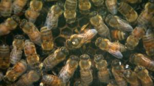 Research finds new possible cause of bee colony collapse