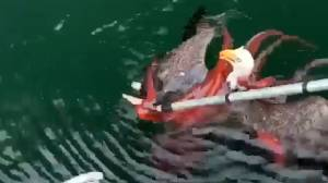 Bald eagle vs. octopus fight caught on camera in B.C.