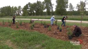 Calgary volunteers 'really make a difference' with tree-planting project (01:43)