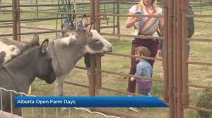 Learn how food gets from farm to table during Alberta Open Farm Days