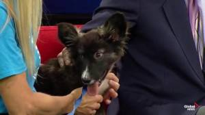 Edmonton Humane Society: Milo the puppy