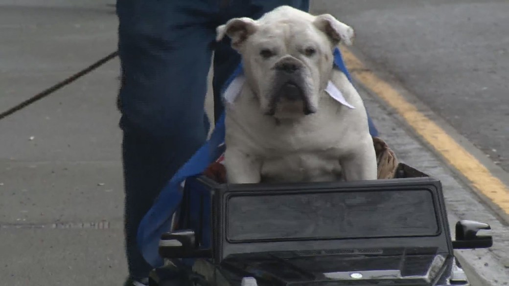 Click to play video: 'Meet Gastown's driving dog: 'Mayo' the Bulldog rides high on mini Mercedes'
