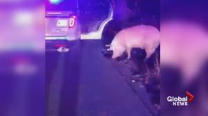 Surrey RCMP 'arrest' wayward pig, accused of hamming around (00:26)