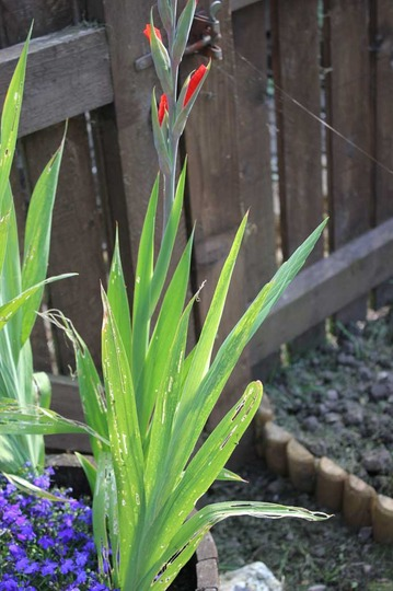 Does Anyone Have Any Idea Whats Eating My Gladioli Leaves Grows On You