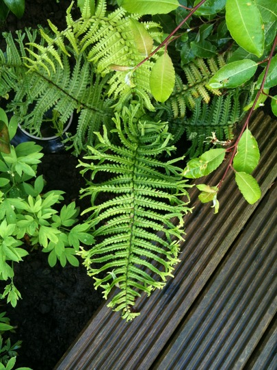 Fern Identification Please Can Anyone Help Me Put A Name To These Ferns Ple Grows On You