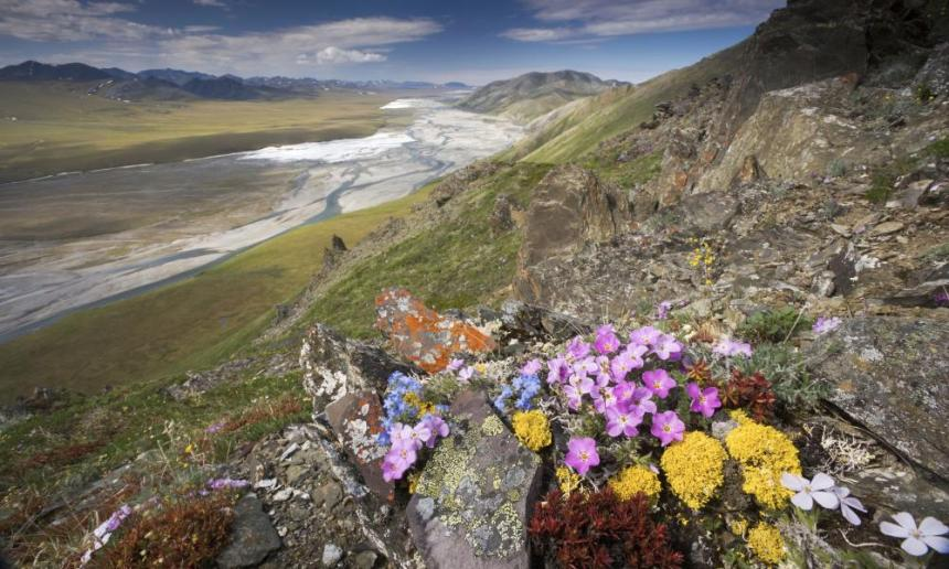 Hardy wildflowers growing in the Arctic National Wildlife Refuge.