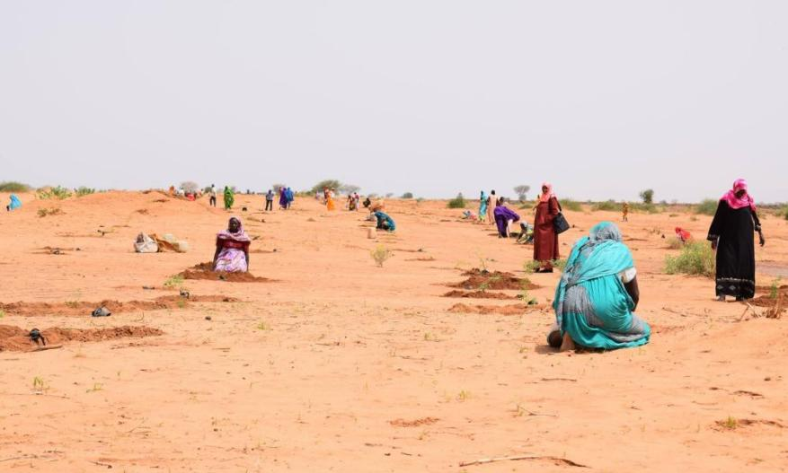 Planting some of over 23,000 tree seedlings along 12km of the edges of the wadi banks to reverse erosion as part of a project by Sudan's Forests National Corporation.