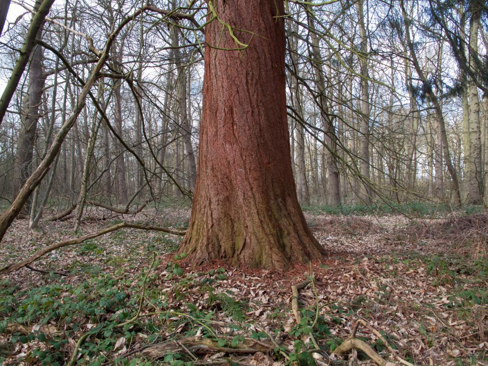 Thuja plicata, the western red cedar, in Sherwood Forest.