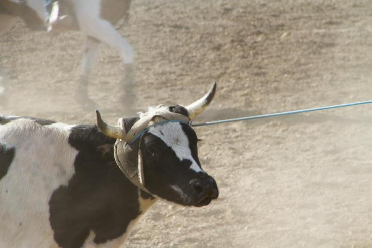 A roped steer.
