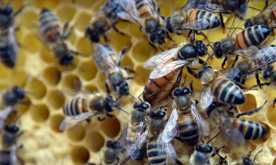 (FILES) This file photo taken on June 10, 2015 shows bees on a honeycomb in the Oblats Park in Nantes. Europe should expand a ban on bee-harming pesticides, environmental lobby group Greenpeace said January 12, as it released a report warning of widespread risks to agriculture and the environment. The report by biologists at the University of Sussex, commissioned by Greenpeace, concluded that the threat posed to bees by neonicotinoid pesticides was greater than perceived in 2013 when the European Union adopted a partial ban. / AFP PHOTO / GEORGES GOBETGEORGES GOBET/AFP/Getty Images