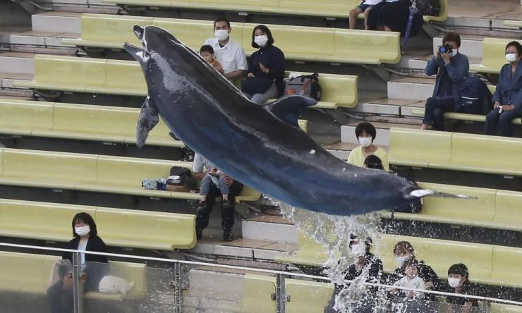 A dolphin performs at Hakkeijima Sea Paradise near Tokyo, Japan