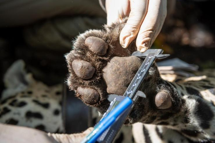 Researchers measure the jaguar's paw.