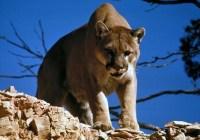 دیدهشدن شیر کوهی (Cougar) در گراوس گرایند