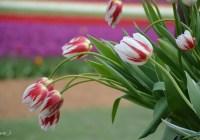 عکسهایی از لالههای ویژهٔ ۱۵۰ سالگی کانادا که گلبرگهایشان بهشکل پرچم کاناداست