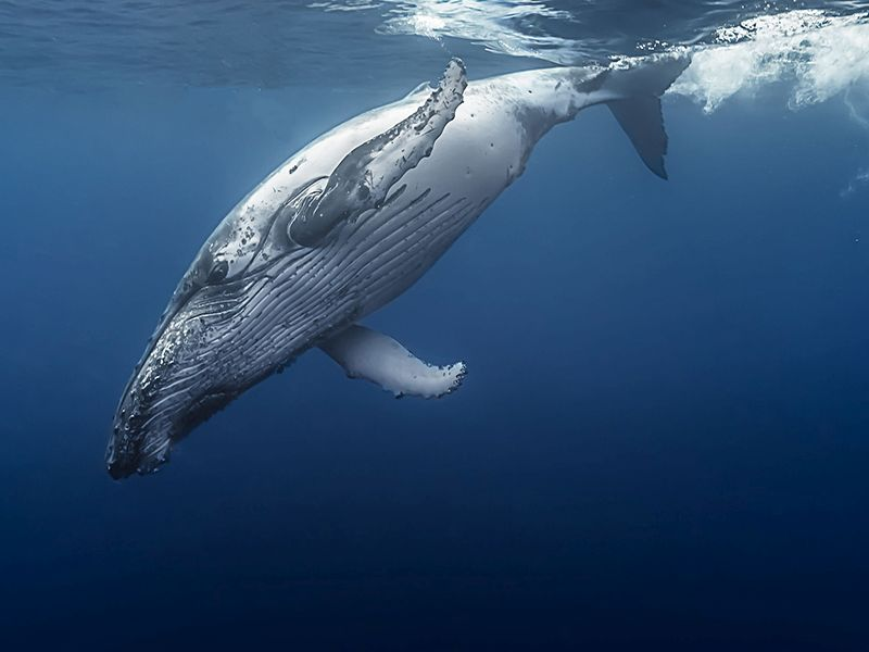 News Picture: Looking to Whales for Insight on Human Cancers