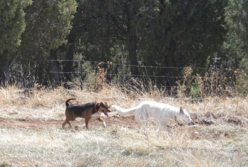 rescue dog running with kelee