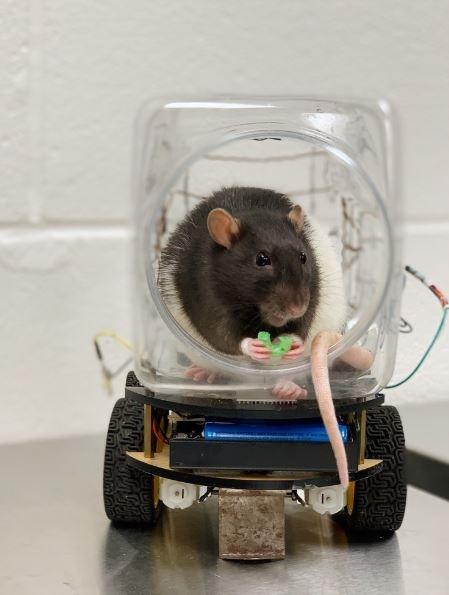 Tikus ini diminta untuk mengendarai mobil mini milik ilmuwan. (University of Richmond)