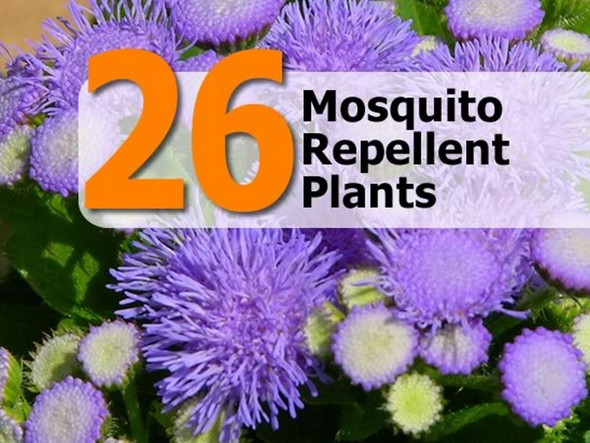 Can Mosquito Repellent Plants What Do