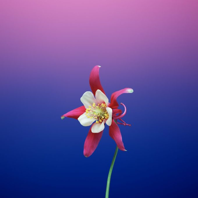 Tapeta iOS 11 (kwiat, fioletowa)