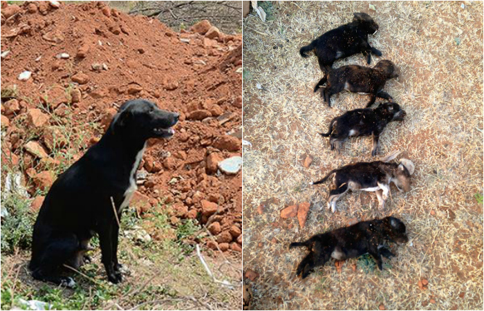 Bengaluru Woman Kills 8 Puppies Brutally In Front Of Their Mother Just To Teach The Dog A Lesson