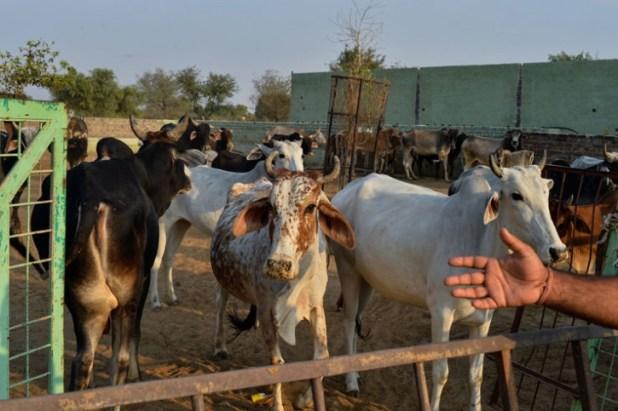 Alwar SDM Orders Cows Be Returned To Muslim Family