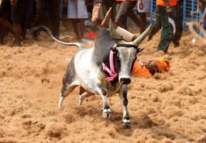 Bull Dies Of Cardiac Arrest During Jallikattu In Tamil Nadu