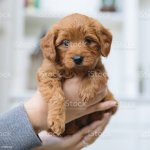 Adorable Goldendoodle Puppy Is Being Held By Her New Owner Stock Photo Download Image Now Istock