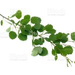Aspen Tree Branches Stock Photo Download Image Now Istock