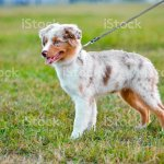 Australian Shepherd Puppy Standing On Green Grass Background Stock Photo Download Image Now Istock