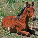 Baby Buckskin Colt Mustang Wild Horse Foal Resting Stock Photo Download Image Now Istock