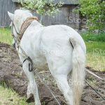 Back View Of White Draft Horse Ploughing Soil In Spring Stock Photo Download Image Now Istock