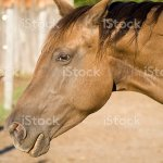 Beautiful Appaloosa Quarter Horse Stock Photo Download Image Now Istock
