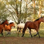 Beautiful Running Wild Horses Stock Photo Download Image Now Istock