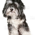 Black And White Maltese Dog Stock Photo Download Image Now Istock
