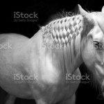 Black White Horse Stock Photo Download Image Now Istock